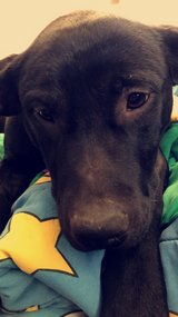 Re-homing black lab pupper ???? in Fort Campbell, Kentucky
