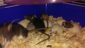 baby fancy and albino rats in League City, Texas