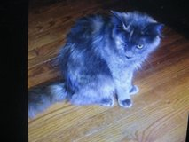 beautiful cat in Fort Campbell, Kentucky