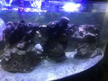 Live Rock for salt water fish tank in Cherry Point, North Carolina