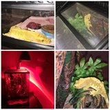 Crested gecko in New Lenox, Illinois