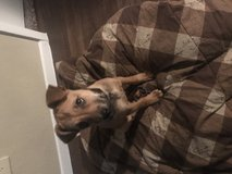 Free Black Mouth Cur in Liberty, Texas
