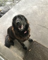 Rehoming Loving Black Lab Mix in Fort Polk, Louisiana