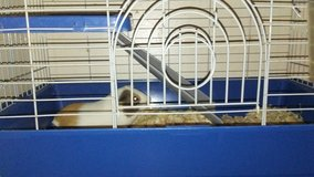he is a year old got him for petsmart he comes with cage food bowl water bottle and haystack in Fort Campbell, Kentucky