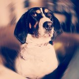 Coco the coonhound beautiful dog in Fort Knox, Kentucky