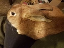 1 Year Old Rex / New Zealand Mix Male Rabbit Up for Adoption in Chicago, Illinois