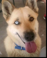 Lost dog Shepherd mix in Alamogordo, New Mexico