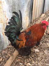 Handsome Brahma rooster in Lawton, Oklahoma