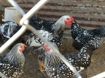 Silver Laced Wyandotte Roosters Only in Aiken, South Carolina