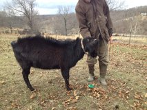 100% Lamancha buck in Fort Leonard Wood, Missouri