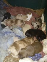 Full blooded Catahoula Cur puppies in Alexandria, Louisiana