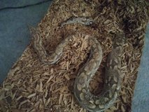 Terrerium, hides, water dish, and heat pad w/ Dumeril's Boa in Las Vegas, Nevada