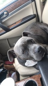 ADULT FEMALE BLUE PIT in Fort Polk, Louisiana
