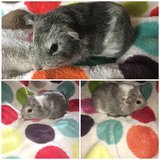 Guinea pigs babies in Naperville, Illinois