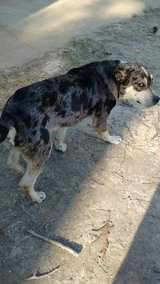 Dog found Marlow/Drakes fork rd in Fort Polk, Louisiana