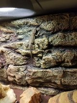 Bearded Dragon with lots of extras. in Beaufort, South Carolina