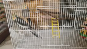Two gray cockatiels &cage in Warner Robins, Georgia
