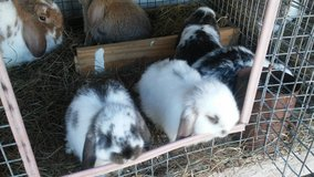 Rabbits mini lops in The Woodlands, Texas