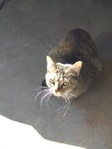 free cat female tabby about 3 months old not sure in Camp Lejeune, North Carolina