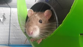 cute 5mon old male Rat in Ramstein, Germany