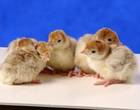 BABY CHICKS NOW AVAILABLE in Camp Lejeune, North Carolina