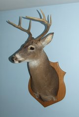 Whitetail Deer Taxidermy Shoulder Mount in Bolingbrook, Illinois