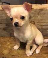 Chihuahuas in Fort Leonard Wood, Missouri