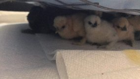 Silkie chicks! in Beaufort, South Carolina