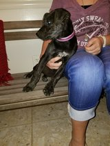 Lab mix in Beaumont, Texas