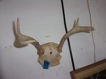 Set of Small Deer Antlers in Fort Riley, Kansas