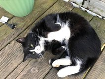 Black and white Cat, House Trained Free to a good home in Fort Campbell, Kentucky