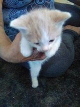 Kitten for Adoption in Yucca Valley, California