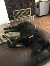 Black Labrador Free to Good Home in Grafenwoehr, GE