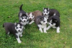 Siberian Husky Pm directly (powelltapia@gmail.com) or whatsapp +237694088482 in Heidelberg, GE
