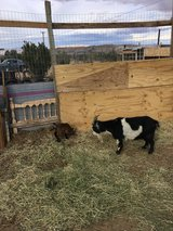 Baby goat male in Yucca Valley, California