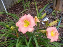 "Daylily ""Rose' "" in Warner Robins, Georgia"