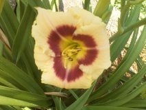 "Daylily ""Custard Candy"" in Warner Robins, Georgia"