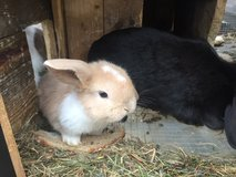Droopy Ear Rabbits in Ramstein, Germany