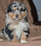 Australian shepherd puppies in Los Angeles, California