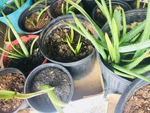 Baby aloe vera plants in Biloxi, Mississippi