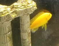 African Cichlid Yellow in Naperville, Illinois