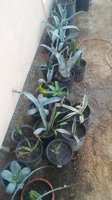 Agaves for sale in 29 Palms, California