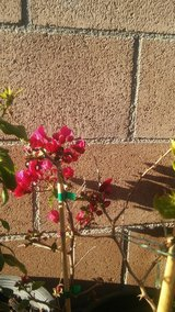 Bougainvilleas for sale in 29 Palms, California