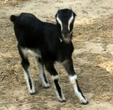 LaMancha Goats for Sale in Cleveland, Texas