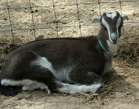 Milk Goats in Cleveland, Texas
