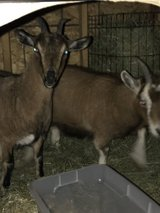 2 pregnant Nigerian goats in Plainfield, Illinois