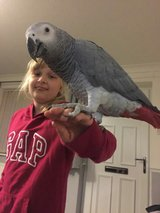 African grey parrot looking for a new home in Ottawa, Illinois