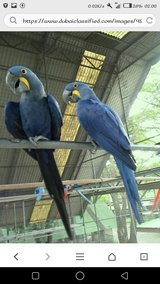 hycent macaw for rehoming in Ottawa, Illinois