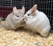 Pair of Mother / Daughter Female Chinchillas Up for Adoption -- pink white & homo beige in Chicago, Illinois