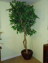 fig tree-artificial in St. Charles, Illinois